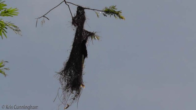 If you look closely you can see the other bird hanging on to the side of this nest.