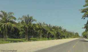These look like the palms we saw in Costa Rica that are grown for the production of palm oil.