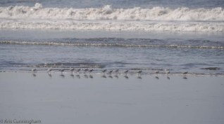 The sandpipers are also out.