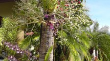 A palm tree with red and green seeds, and a purple orchid in bloom.