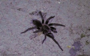 This big fuzzy spider was in the laundry room the other night.