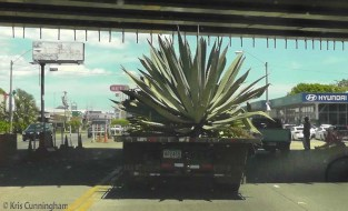 I'm driving home this morning, and find myself following this truck. I could not see anything holding this large plant in place except for its own weight.
