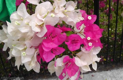 This bougainvillea has white and pink flowers on the same plant, and even on the same branch.