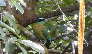 A motmot perches on our tree next to the back patio.