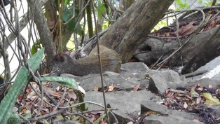 We saw many of these agouti also.