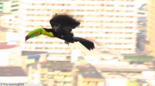 I snapped this just as the toucan took off. It's not exactly clear but I like it with the city in the background.
