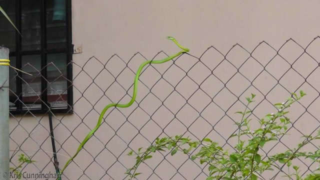 Parrot Snake on the fence