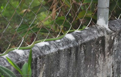 Then, it moved along the top of the fence wall.