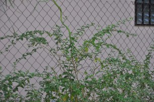 Later the snake moved down the fence into the plants.