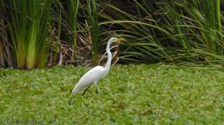 One of the beautiful egrets walking around in the water lettuce.