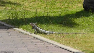 We also passed a lot of iguanas!