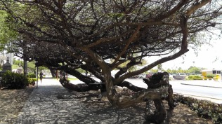We were told that the wind is always blowing hard in Aruba, so maybe this is why the trees are so interesting.