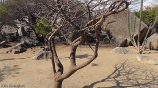 Another interesting thorny tree. The whole island is dry and desert like, except where things are obviously watered.