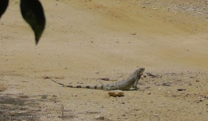 One of a number of iguanas we saw on our walk.
