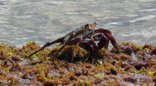 I took too many crab photos.