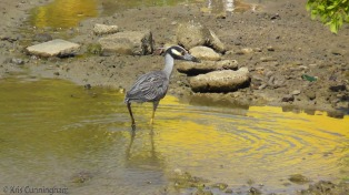 I managed to snap a photo of this heron before it ducked for cover.