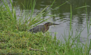 This pretty bird was also fishing in the ditch.