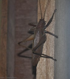 I saw this big critter hanging out on our door frame one morning.