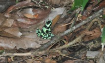 Some others found the poison dart frog and brought it back for the rest of us to see. When he was let go he was nice enough to pose for a moment before he hopped off into the undergrowth.