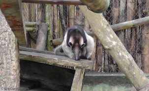 I think this is an anteater. It was so active it was hard to get a photo.