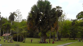 This looks like a palmetto that are so common in Florida, but I've never seen one anywhere near this huge.