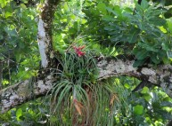 Bromiliads in the trees.