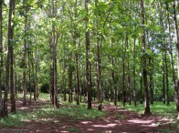 At the end of the road where we parked is this beautiful teak forest.