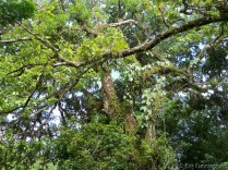 There were beautiful trees with bromiliads and other plants growing on them.