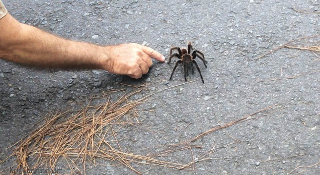 It was a great treat to see this tarantula crossing the road! Joel is the brave one who got this close, but the tarantula wasn't the least bit concerned or aggressive, thank goodness.