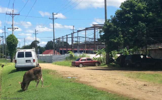 A side street, the new commercial building under construction, and a calf grazing by the side of the road.