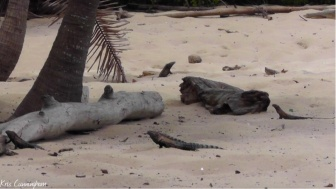 There were almost no people on the Island so the iguanas were everywhere!