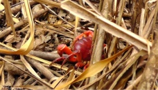 As we were walking to the other side of the island, we spotted this huge red crab in the underbrush.