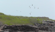 The frigate bird were nesting in this area. There was a crowd of them flying overhead.
