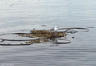 There were quite a few seagulls resting on the floating kelp.