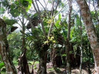 A few of the banana and plantain plants on the property