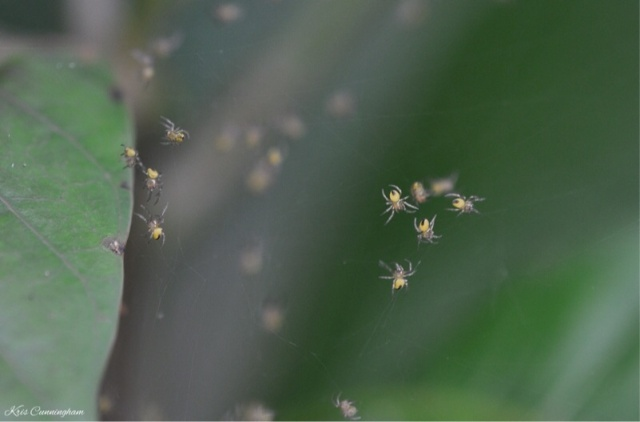 These are spiders though. I saw this web going from one plant to another and it was covered with many, many tiny spiders making their way up and down between the plants