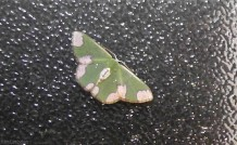 This beautiful green and white moth landed on our window one night.
