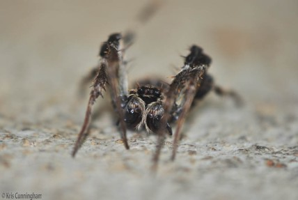 This spider isn't much bigger than a large thumbnail but it sure is interesting.