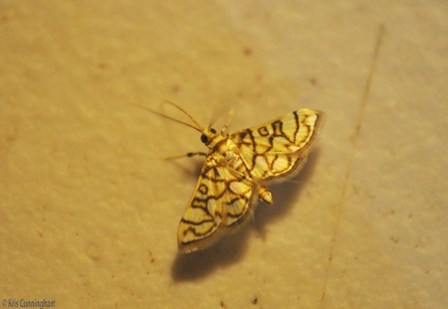 This tiny moth was barely a centimeter across, but so beautiful.
