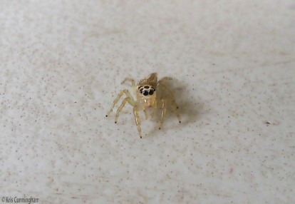 A tiny, beautiful spider on my table.