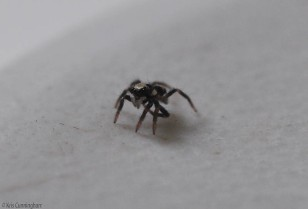 It seemed like this little spider was interested in the ants, but if one came close it would back away.