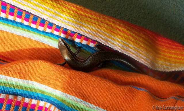 Joel unfolded the hammock to find this beautiful little guy hiding in the folds.