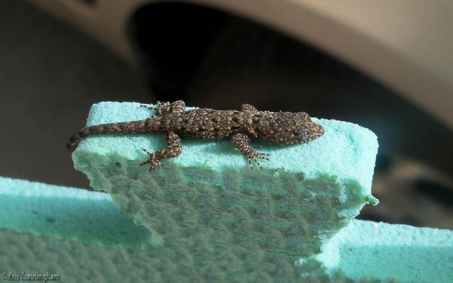 I've seen this interesting tiny, baby lizard a few times on the terrace, but Joel got a great photo of him.