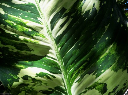Taken at an angle, the light highlights the texture in this variegated leaf.