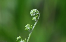 The white highlights add to the textured look of this fern fiddlehead.