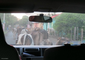Returning home, another Ometepe traffic jam.