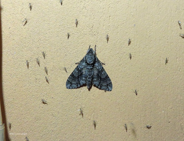 Among the bugs there was this gorgeous moth on the wall (in Nicaragua)