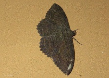 This fairly large moth was on the living room wall
