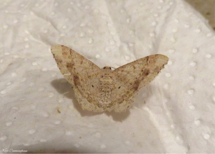 At dinner this beautiful little moth landed on my paper towel.