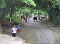 I wait in front of the school while the kids are arriving among more cows on the move.